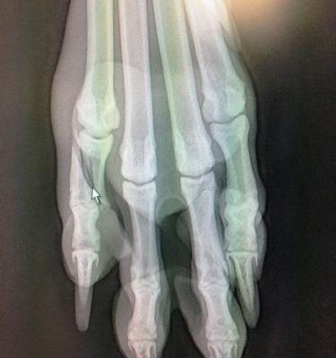 Niko's Fracture | Winslow Animal Hospital Dog & Cat