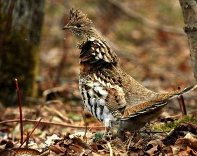 Grouse in PA, Grouse in Costa Rica