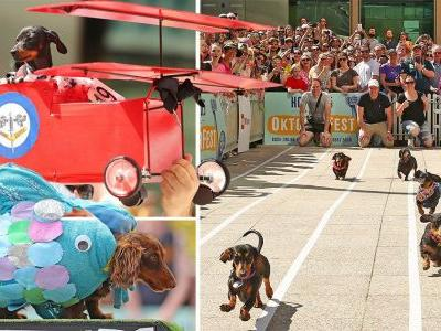 Loads of mini sausage dogs raced each other in fancy dress outfits
