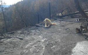 Dedicated Dog Found Guarding Family's Home After It Was Destroyed By The Camp Fire