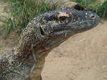 Komodo DRAGONS could hold the key to beating superbugs