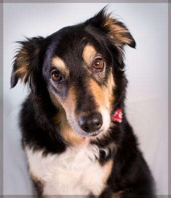 """""""LUCY"""" well loved Border Collie mix"""