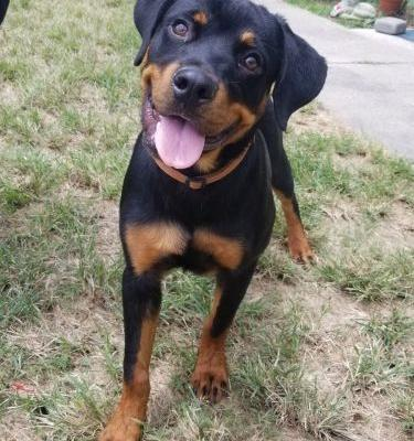 Keep Track Of The Growth Of Your 6 Month-Old Rottweiler And Ensure Their Good Health