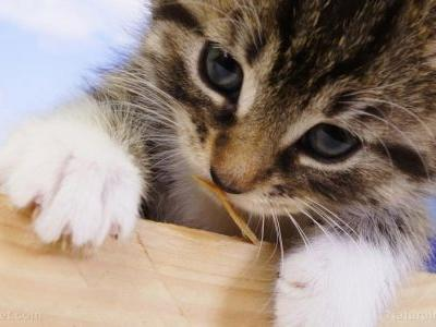 High phosphate intake, typical in moist food formulations, can damage kidney function in cats, study finds