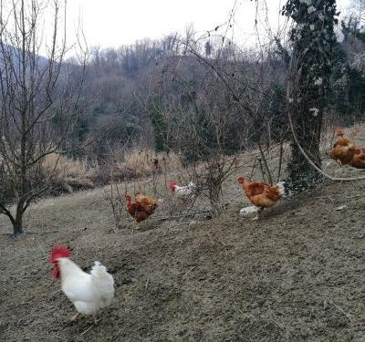 White Hens of Saluzzo on the Brink of Extinction: Caging them is not the Solution