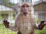Scientists warn against creating human-monkey HYBRIDS as calls rise to create the chimeras