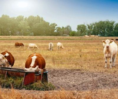 12 tips for caring for cattle this summer