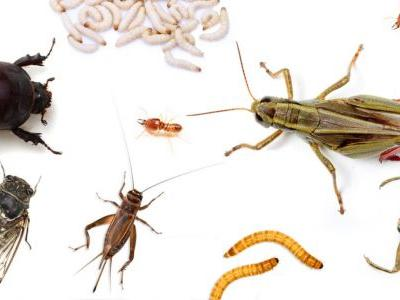 Edible Bugs: A Taste Comparison List (Fried Agave Worms Taste Like Sunflower Seeds!)