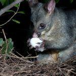 An Argument Against Gene Drives to Extinguish New Zealand Mammals: Life Finds a Way