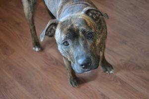 5 Ways To Tell Your Pit Bull You Love Them In Their Own Language