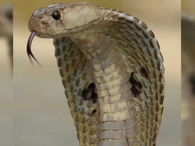 Woman uses shovel to kill venomous cobra that wandered onto her patio