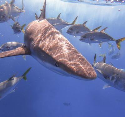 It Takes 5 Minutes to Keep Sharks Swimming