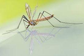 Collaborative Effort Results in High-Quality Mosquito Genome, Raising Hope for Infectious Disease Control