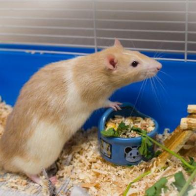 """RATTACUS"" friendly pet rat"