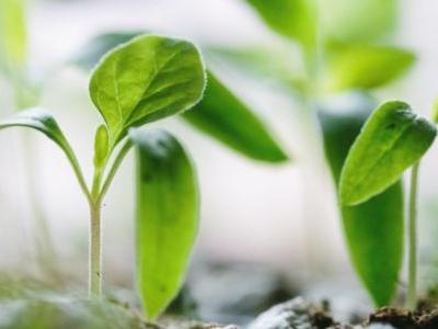 Synthetic Pathways Turn Plants into Biofactories for New Molecules