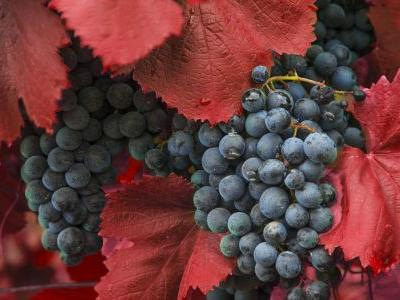 Get to Know Trollinger, the Gamay-Like Grape You Aren't Drinking