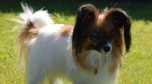 Improve Your Papillon's Skin & Coat With This One Simple Hack
