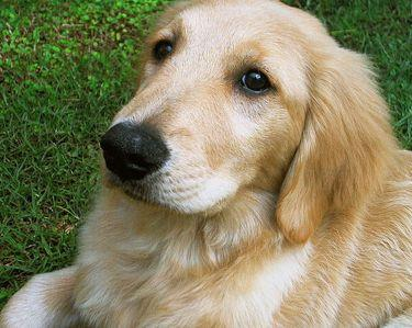 Quiz: Can You Sort The Labradors From The Golden Retrievers?