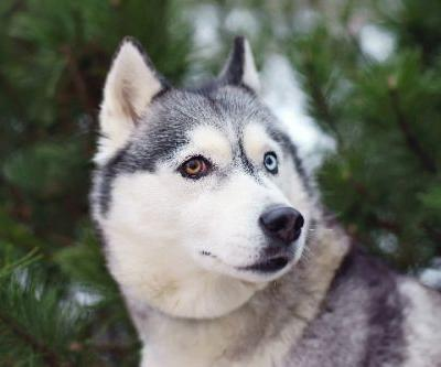 Let's Talk Dogs With Different-Colored Eyes, or Heterochromia in Dogs