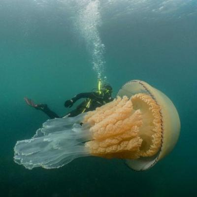 'Breathtaking': Giant jellyfish the size of a person spotted underwater off English coast