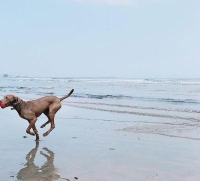 Weimaraner Breed Information Guide: Quirks, Pictures, Personality & Facts