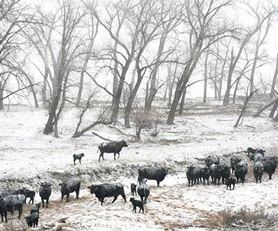 "Landscape, Wildlife Fine Art Photography ""Cattle in the Snow Storm"" by Colorado Photographer Kit Hedman,Boarding House Studio Galleries,Denver"