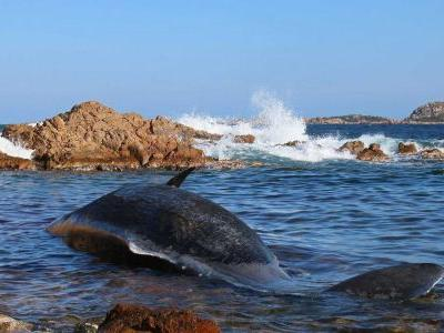 Pregnant whale found dead with of 49 pounds of plastic in its stomach