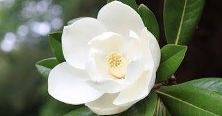 The Health Benefits of Honokiol from Magnolia Plant