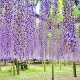 The Wisteria Flower Tunnels of Japan Look Like a Fairy Tale Come to Life