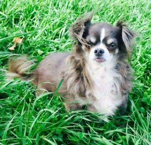 Special Dog Seeks Special Home: Mickey the Chi-Papillon Mix