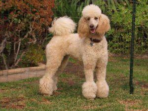 Beyond Shaved Feet: Popular Poodle Cuts