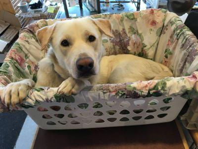 Thrift Store Mascot Is A Dog Who Loves Relaxing In A Laundry Basket