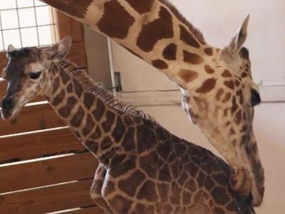 April the Giraffe is pregnant again