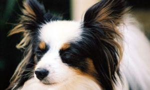 3 Amazing Ways To Honor A Papillon Who Passed Away