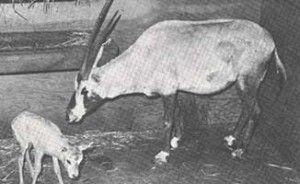 Conservation Connection: Operation Oryx