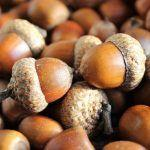 Ask the Expert: The Truth About Acorn Toxicity