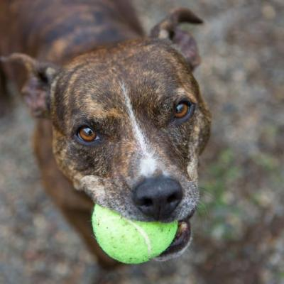 """SAUCY"" little brindle Pitmix LOVES catch"