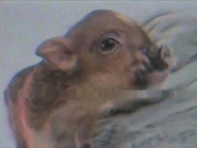 God Bless Ariana Grande's Small Pig, Piggy Smalls