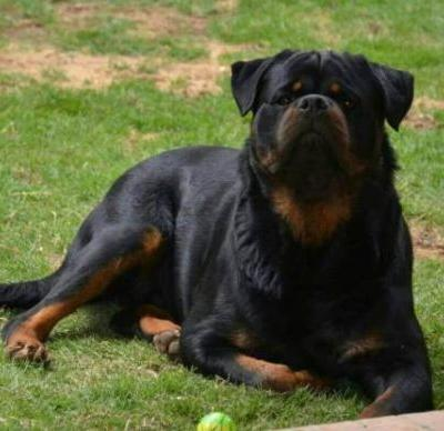 12 Things Your Rottweiler Is Better At Than You