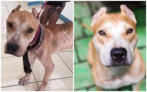 "Neglected, Starving Dog Kept As ""Status Symbol"" Finally Learns What It's Like To Be Loved"