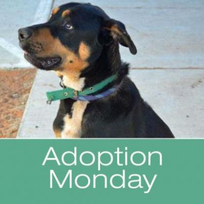 Adoption Monday: Kutcher, Rottweiler Mix, Page, AZ