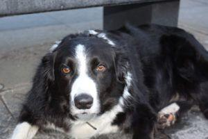 Giving This To Your Border Collie Daily Could Help Alleviate Painful Skin Allergies