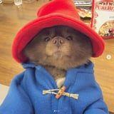 This Pomeranian Dressed Up as Paddington Bear Has Already Won Halloween