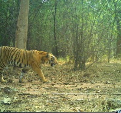 Conservation: Tiger spotted in Kawal reserve of T'gana