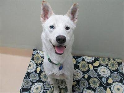 """VINNIE"" lively fun Husky mix - at OHS"