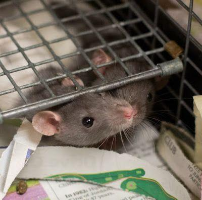 """ARCHIE"" and ""JUGHEAD"" Bonded Baby Rat brothers"