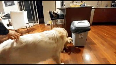 Grown-up Lab Teaching A Pup Fetch Is Completely Adorable