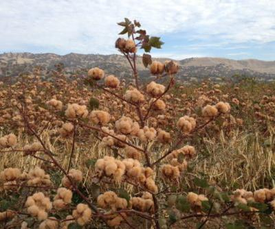 Meet the 'Fanatic' Breeding Colored Cotton, Growing Heirloom Wheat, and Building Soil Carbon
