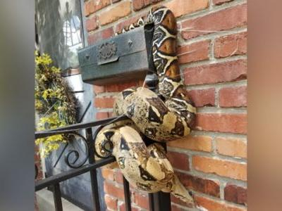 Postal worker discovers ball python on Kansas mailbox