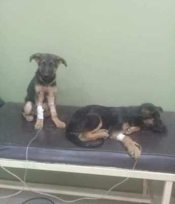 Hero Dog Refuses To Leave His Sister After He Got Healed